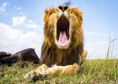 Yawning male lion, Masai Mara, Kenya