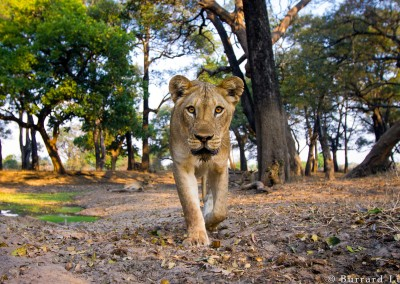 Lioness in Ebony Grove, South Luangwa, Zambia
