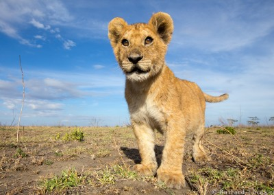 Lion cub, Serengeti National Park, Tanzania