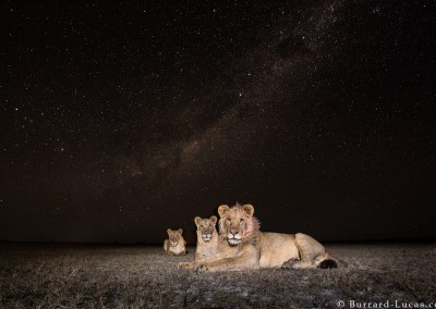 Lions at night, Liuwa Plain, Zambia