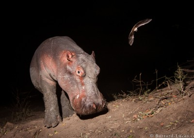 Hippo and Bat, South Luangwa National Park, Zambia