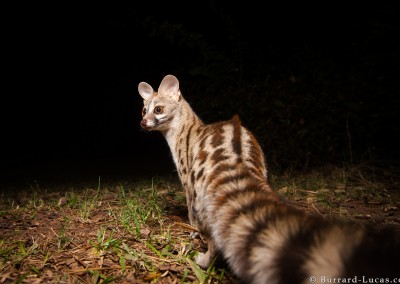 Genet, South Laungwa, Zambia