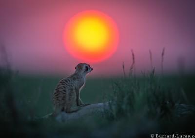 Meerkat at Sunset