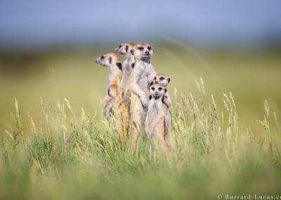 Meerkat Gathering