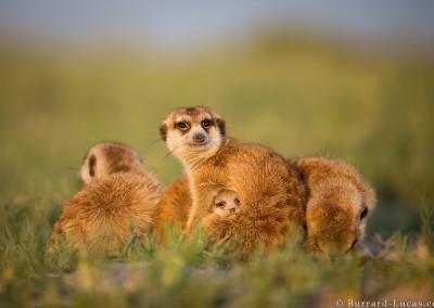 Meerkat Cuddles