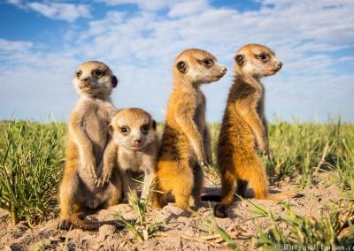 Four Meerkat Babies