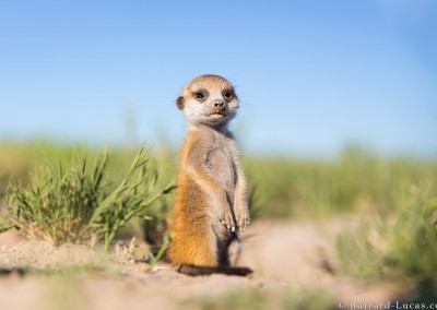 Meerkat Baby