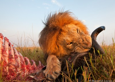 Lion with kill, Masai Mara, Kenya
