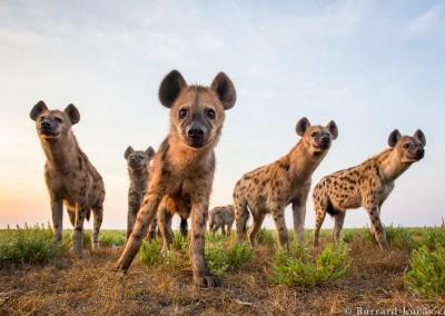 Spotted Hyena group, Liuwa Plain, Zambia