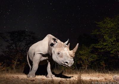 Black rhino photographed at night, North Luangwa National Park, Zambia