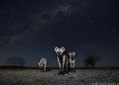 Spotted Hyena, Liuwa Plain, Zambia