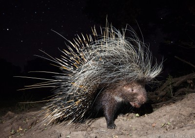 Porcupine, South Luangwa, Zambia