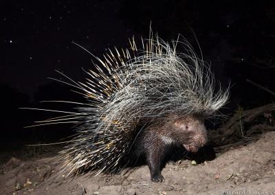 Porcupine, South Luangwa, Zambia