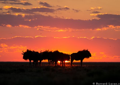 Wildebeest at sunset, Liuwa Plain, Zambia