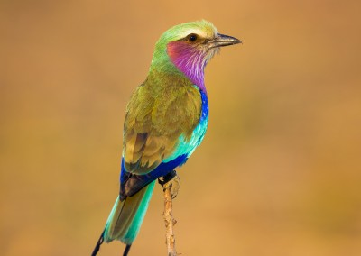 Lilac-breasted Roller, South Luangwa, Zambia