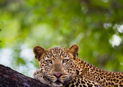 Resting Leopard. South Luangwa National Park, Zambia.