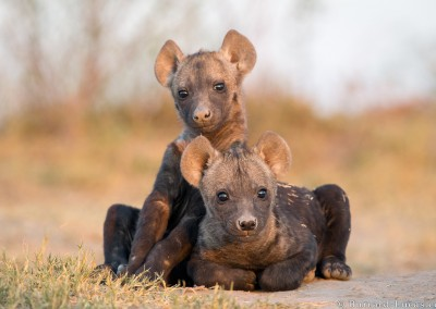 Spotted Hyena babies, Liuwa Plain, Zambia