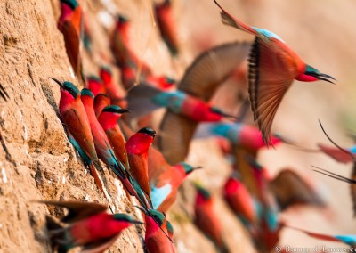 Southern Carmine Bee-eater, South Luangwa, Zambia