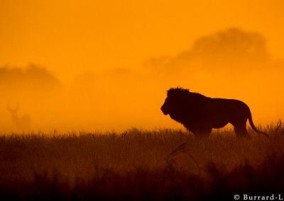 Lion at sunset, Kafue National Park, Zambia