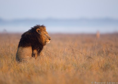 Sitting male lion, Busanga Plains, Zambia.