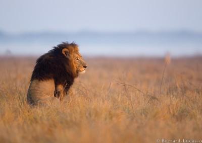 Sitting male lion, Busanga Plains, Zambia.
