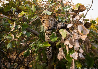 Leopard in a Tree, South Luangwa National Park, Zambia.