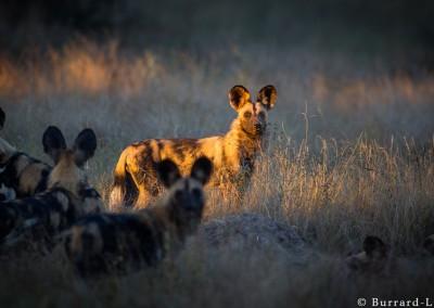African Wild Dogs. North Lunagwa, Zambia.
