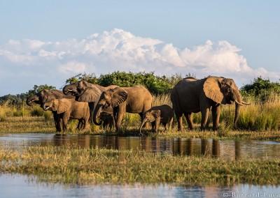 Elephants drinking from the Zambezi River, Lower Zambezi National Park, Zambia.