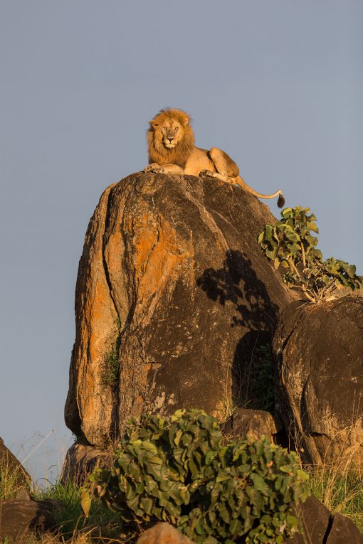 lion_uganda