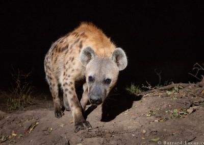Spotted Hyena, South Luangwa National Park, Zambia