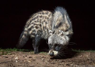 African Civet, South Luangwa, Zambia