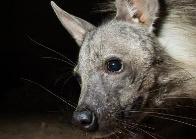 Brown Hyena, Skeleton Coast, Namibia