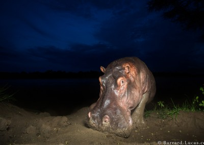 Hippo, South Luangwa National Park, Zambia