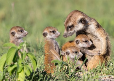 A Family of Meerkats