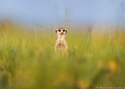Meerkat in Grass