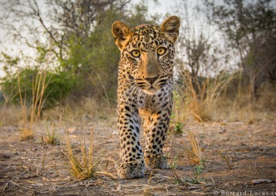 Curious Leopard, South Luangwa National Park, Zambia