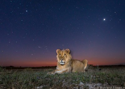 Young male lion at dusk, Liuwa Plain, Zambia