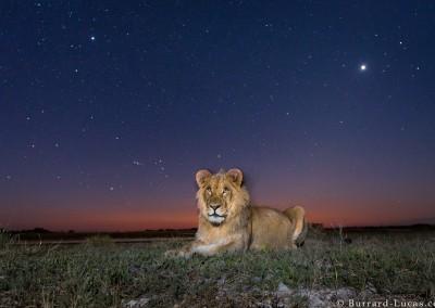 Young male lion at dusk, Liuwa Plain, Zambia