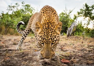 Leopard, South Laungwa National Park, Zambia