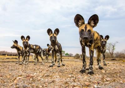 African Wild Dog group, South Luangwa, Zambia