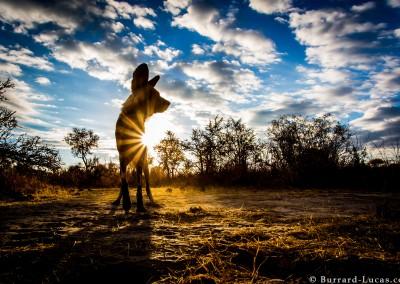 African wild dog, Hwange National Park, Zimbabwe