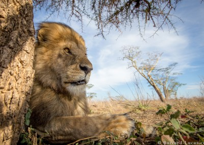 Male lion, Serengeti National Park, Tanzania