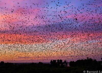 Bat migration, Kasanka National Park, Zambia