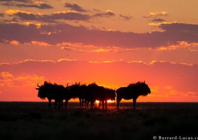 Wildebeest at sunset, Liuwa Plain, Zambia