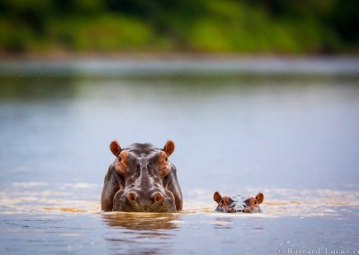 Mother and baby hippopotamus. Luangwa River, Zambia.