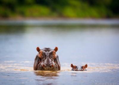 Mother and baby hippopotamus. Luangwa River, Zambia.