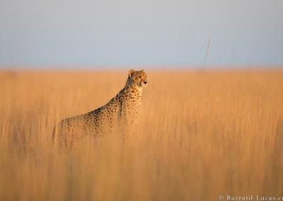 Cheetah, Liuwa Plain National Park, Zambia