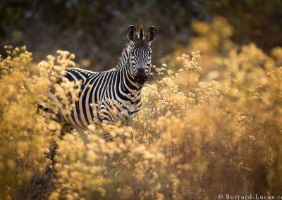 Crawshay's Zebra, South Luangwa National Park, Zambia