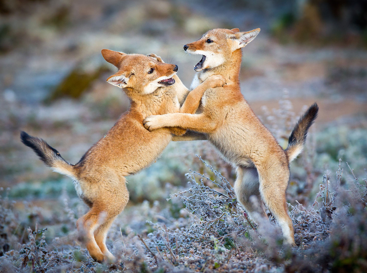 Playing Ethiopian Wolf Pups