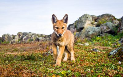 Ethiopian Wolves with Will Burrard-Lucas